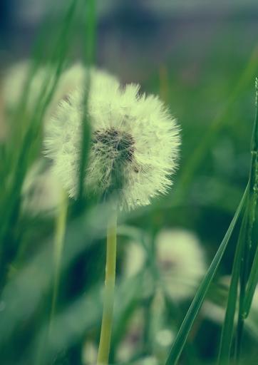 lomo dandelion