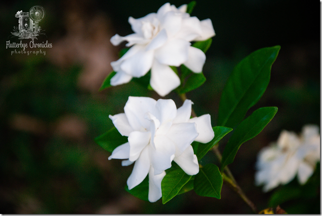 Gardenia (WW) watermarked