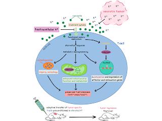 Potasyum Metabolizması Bozuklukları ve Tedavi Yöntemleri