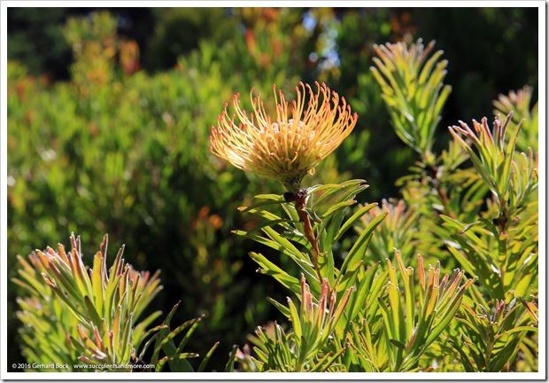 160813_UCSC_Arboretum_-Leucospermum-glabrum-x-conocarpodendron_008