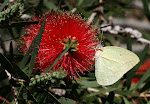 Catopsilia florella.jpg