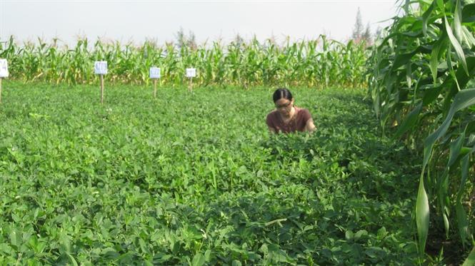 Kỹ thuật trồng giống Lạc chay trắng - 56c1d2972fff5