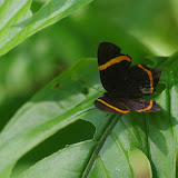 Riodina lysippus lysias Stichel, 1910. Bosque Bavaria (Villavicencio, Meta, Colombie), 9 novembre 2015. Photo : J.-M. Gayman