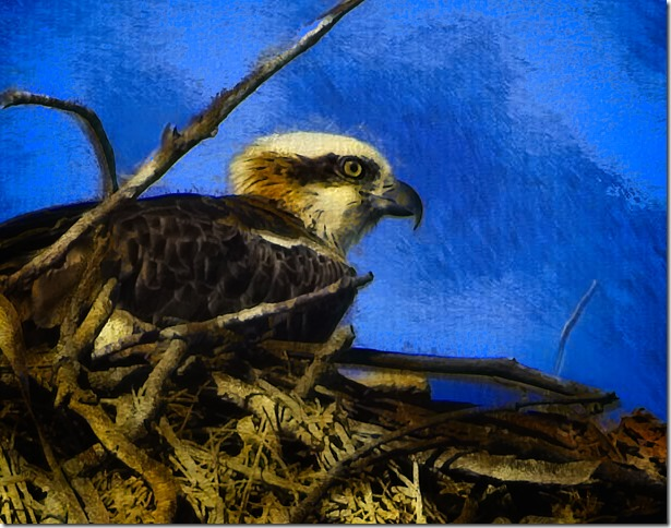 """""""Hand Drawn Photo"""" of the Young Osprey on its Nest"""