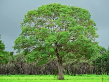 This Milkwood tree is vividly green during the wet season, as is the grass around it, beautiful!