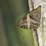 Colobura dirce dirce (L., 1758). Tunda Loma (Calderon, San Lorenzo, Esmeraldas), 30 novembre 2013. Photo : J.-M. Gayman