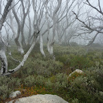 Snow gums in cloud (263066)