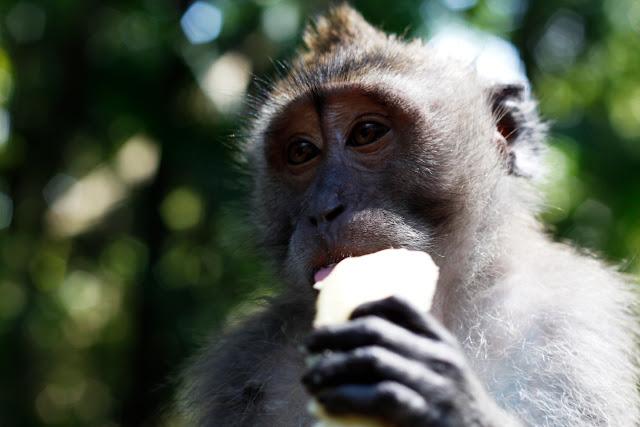 Primer plano de un macaco del Monkey Forest