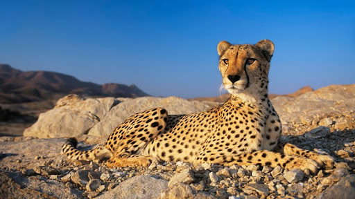 A Resting Cheetah, Namibia, Afraica.jpg