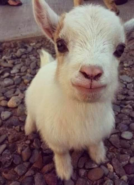 Baby Goat Photos