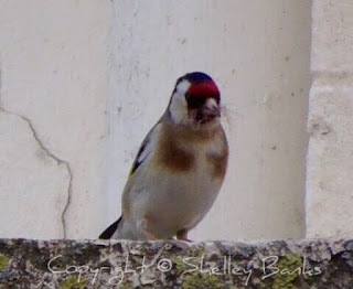 Goldfinch. Carassonne. Copyright © Shelley Banks, all rights reserved.