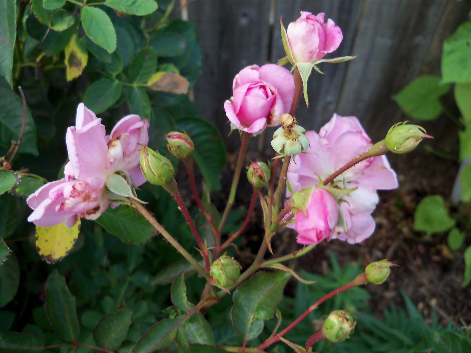 Gardening 2011 - 100_8846.JPG