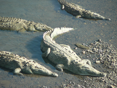 Crocodiles sunning themselves