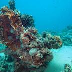 Blue spotted stingray on Yolanda Reef
