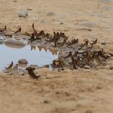 Marpesia chiron (FABRICIUS, 1775) mud-pudlant (alt. : 214 m). Piste de Rurrenabaque à Reyes (El Beni, Bolivie), 22 octobre 2012. Photo : C. Basset