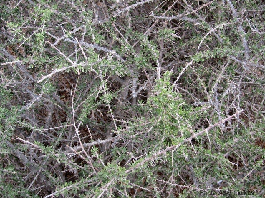 Растения пустыни Негев, Библейское растение Атад