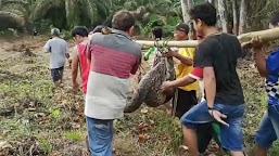 Ular Phyton Sepanjang 7,5 Meter Berhasil Ditangkap Warga