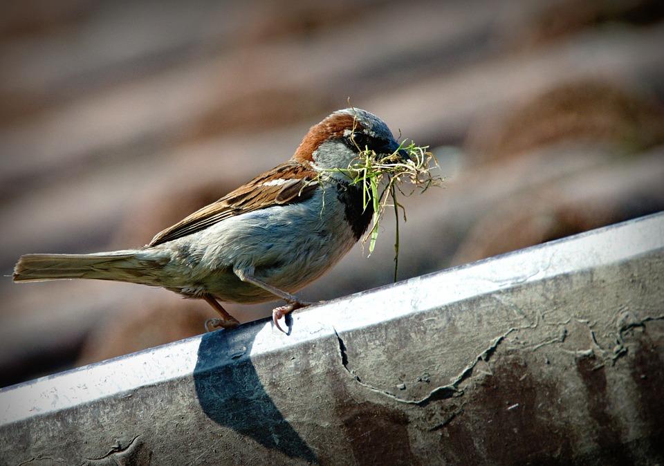 Hà Nội mùa chim làm tổ