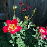 Gardening 2011 - 100_9055.JPG