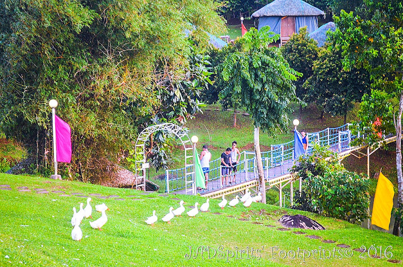The ducks in queue about to go into the water at Caliraya Mountain Lake Resort