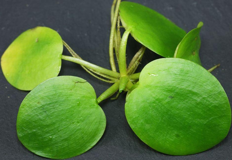 Лимнобиум побегоносный (Лимнобиум гладкий) (Limnobium laevigatum)