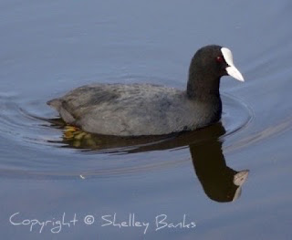 Common Coot - Amsterdam. (c) Copyright Shelley Banks, all rights reserved