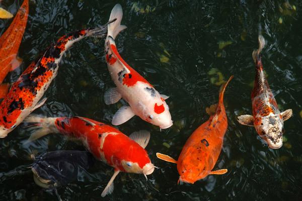 Kết quả hình ảnh cho nuôi cá chép cảnh