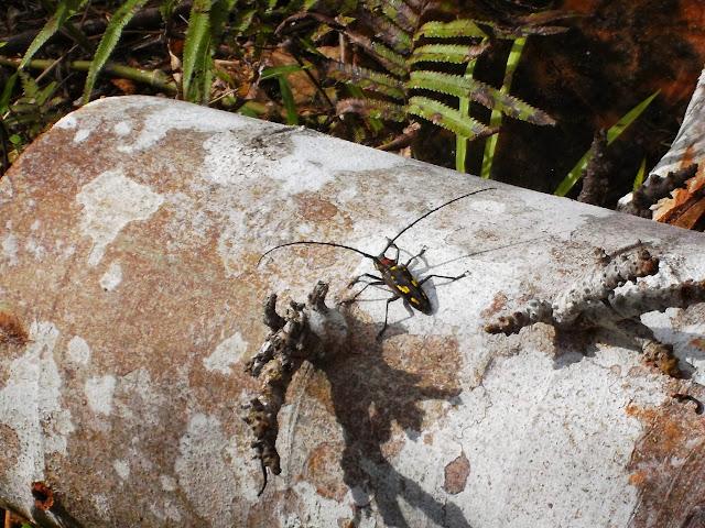 Lamiinae : espèce proche de Batocera celebiana THOMSON, 1858. Pulau Obi (Moluques), 12 septembre 2013. Photo : Eko Harwanto