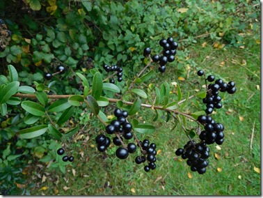 5 privet berries at tolladine lock
