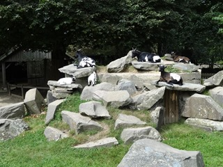 2016.09.02-002 chèvres
