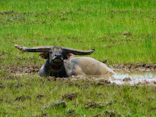 wildlife-water-buffalo-7.jpg