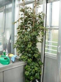 Cissus rombolistny Ellen Danica Cissus rhombifolia ellen danica