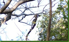 Hornbill feeding another