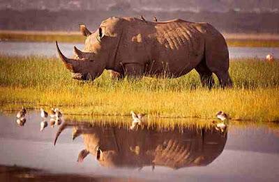 हीरे से भी महंगा है इस जानवर का सींग   Rhinoceros  Horned