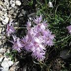 Garofano a pennacchio - Dianthus superbus.JPG
