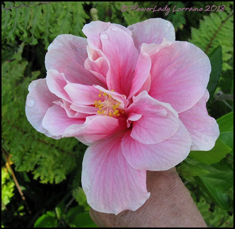 04-16-pink-hibiscus