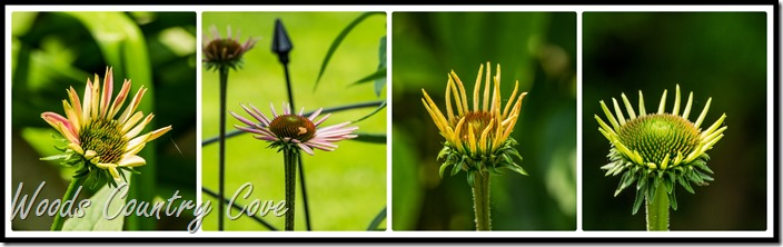 coneflower  Collage