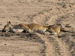 viral!!!!! Tragedi Singa mati dibunuh Tikus