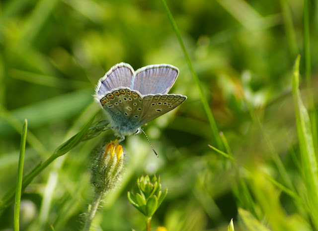 Polyommatus icarus ROTTEMBURG, 1775. Hautes-Lisières (Rouvres, 28), 5 mai 2011. Photo : J.-M. Gayman