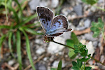 Sortplettet blåfugl, arion2.jpg