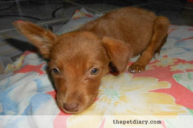 Cute Chocolate Brown Puppy