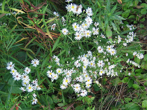 Photo: Panicled Aster, 9.13