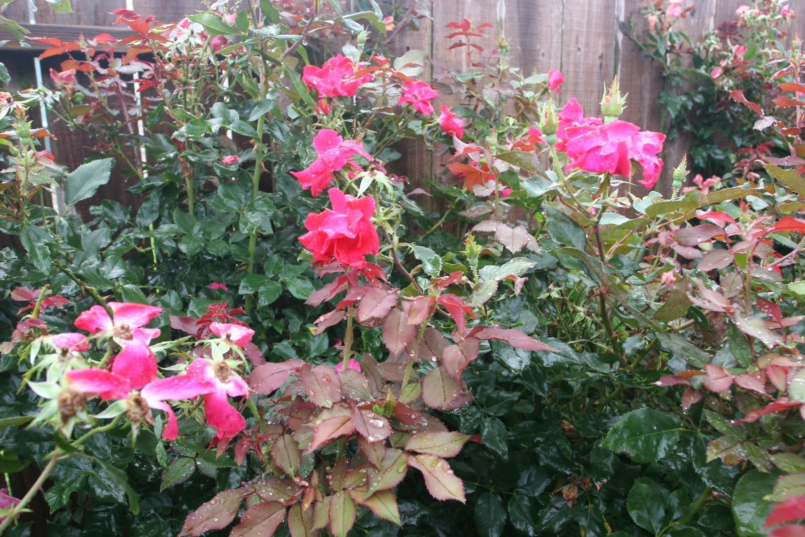 Gardening 2012 - IMG_3519.JPG