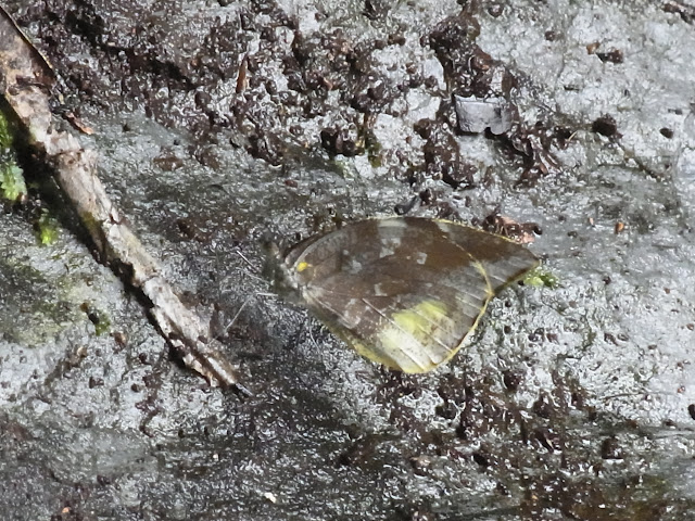 Lieinix nemesis nemesis (Latreille, [1813]). Quebrada Chirajara, 1050 m (Cundinamarca, Colombie), 25 novembre 2015. Photo : J. Michel