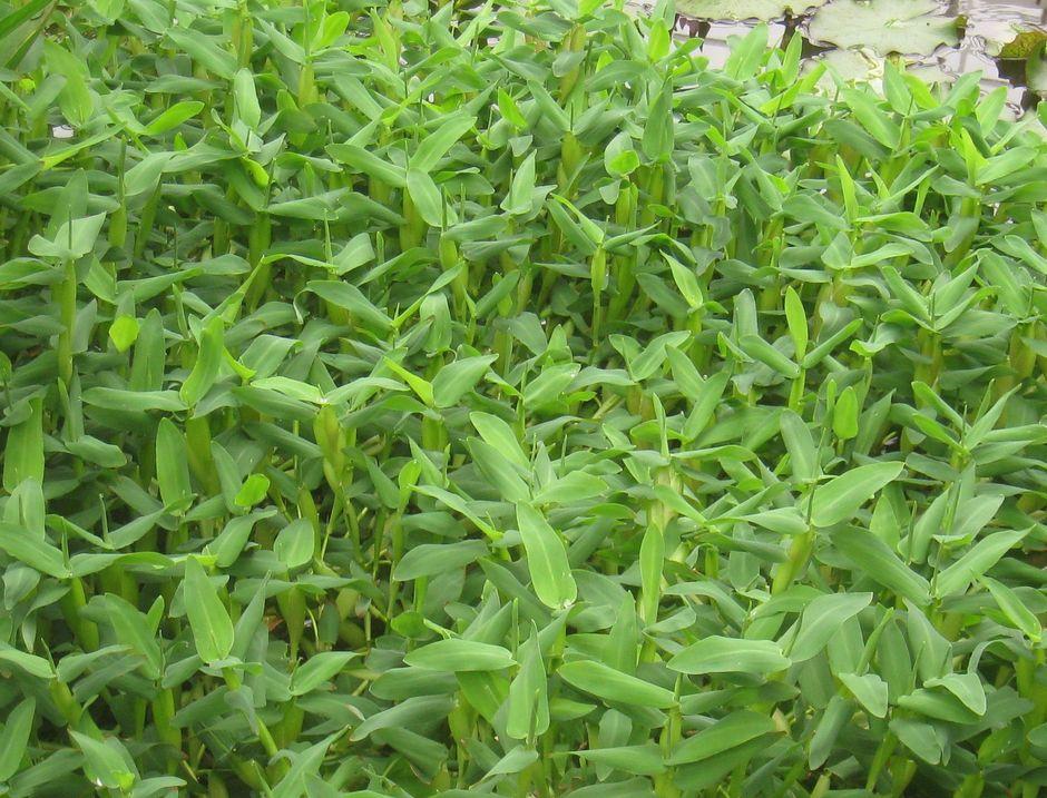 Гигрориза (Hygroryza aristata)