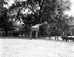 Zsiráf a budapesti állatkertben, 1940 (Fotó: Fortepan)