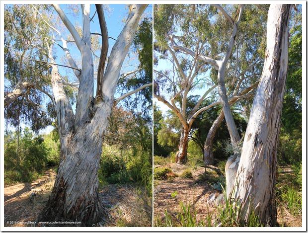 160813_UCSC_Arboretum_Eucalyptus-laeliae_011
