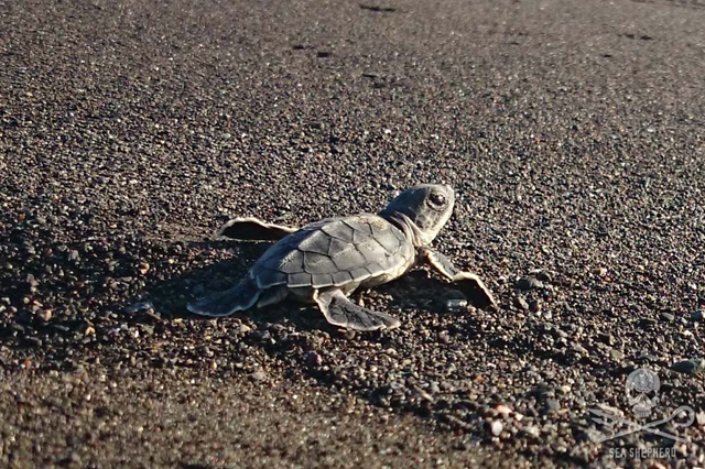 Baby sea turtle on a Costa Rica beach trying to make it to the sea. Photo: Sea Shepherd