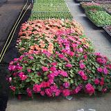 cultivo de plantas florales anuales - 5-8-05%2B149.jpg