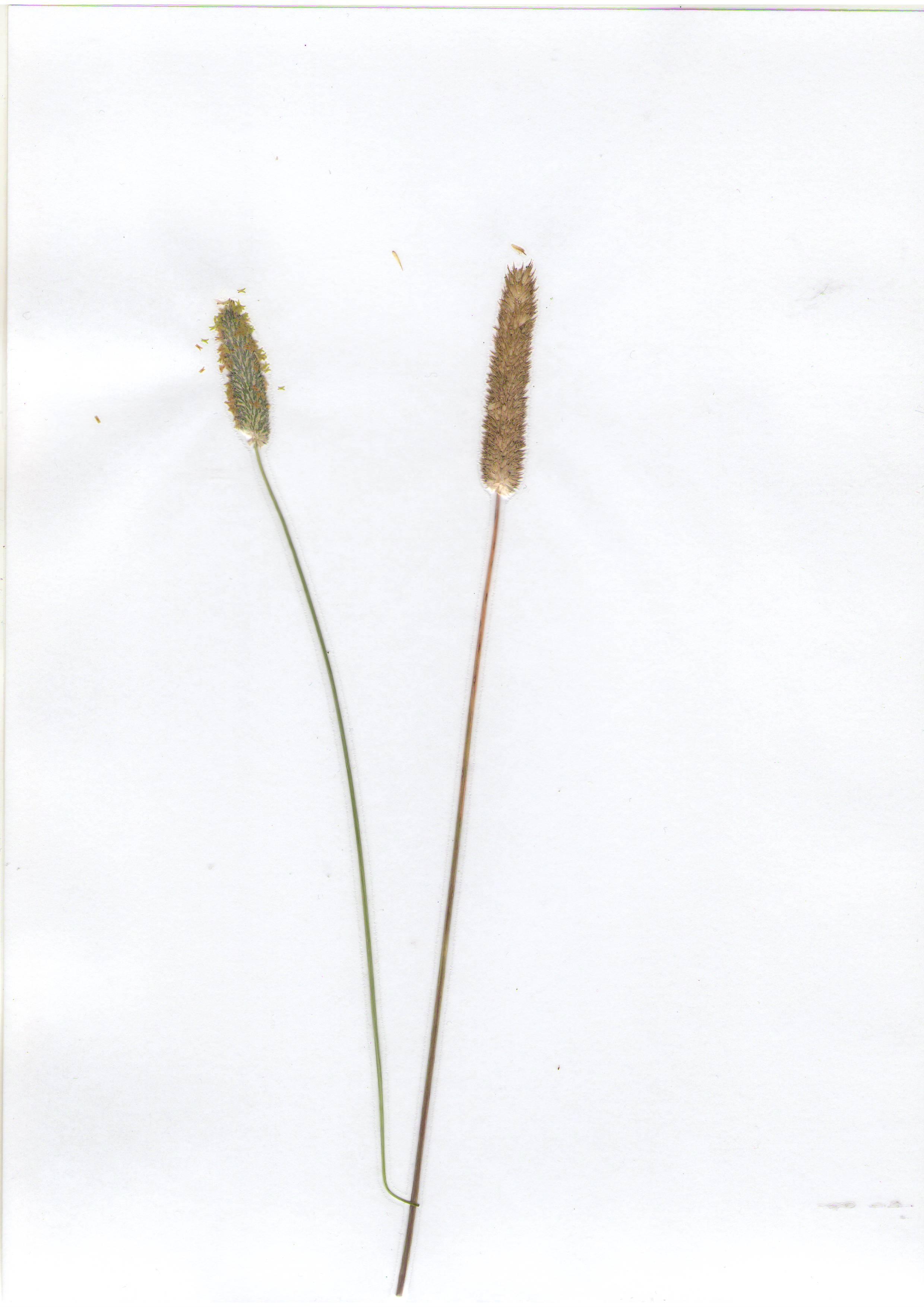 Тимо�еевка л�гова� Phleum pratense